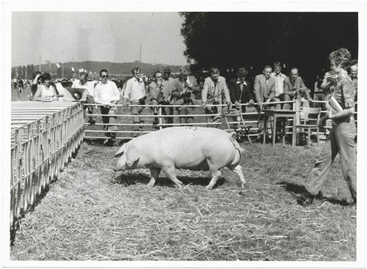 Schwein Schau